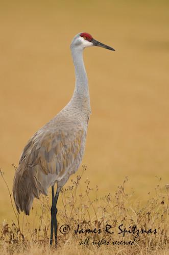 usa bird crane melbourne fl sandhillcrane topshot gruscanadensis gruiformes gruidae vierawetlands avianexcellence aulux goldfeatherphoto