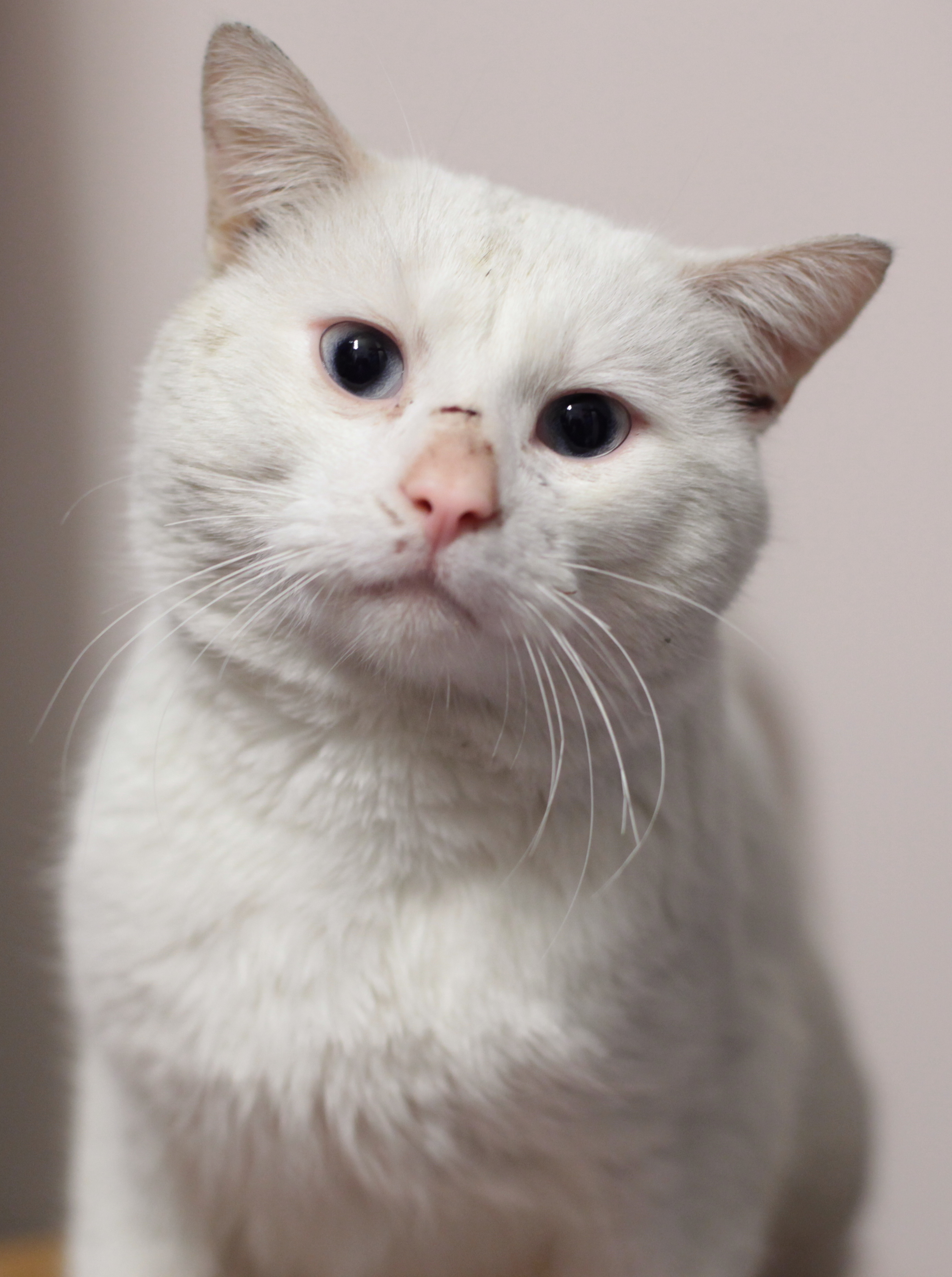 Deafness White Cats Blue Eyes