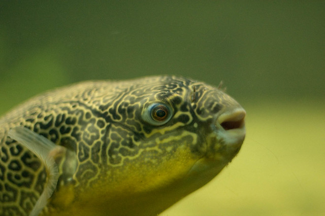 Giant puffer fish fugu by alexlomas flickr photo for Giant puffer fish