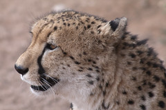 animal, cheetah, leopard, small to medium-sized cats, mammal, fauna, close-up, whiskers, wildlife,