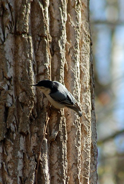 A Nuthatch whose antics entertained us for a few moments