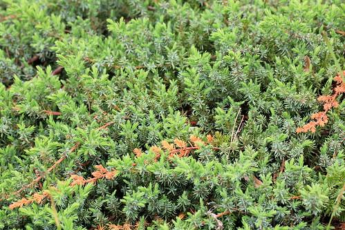 Shore Juniper / Juniperus conferta / 這杜松(ハイネズ)