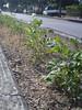 patate fiorite nel solstizio d'estate 2011