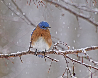 Bluebird in Snow-Blizzard 2010 (Eastern Bluebird-Sialia sialis)
