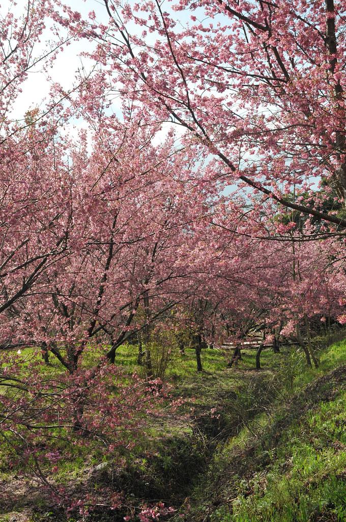 滿山滿谷櫻花林