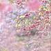 Cherry Blossoms by Jennifer 真泥佛
