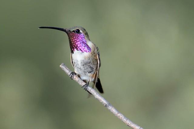 Lucifer Hummingbird | Birds by Dave