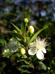Myrtus communis (II)