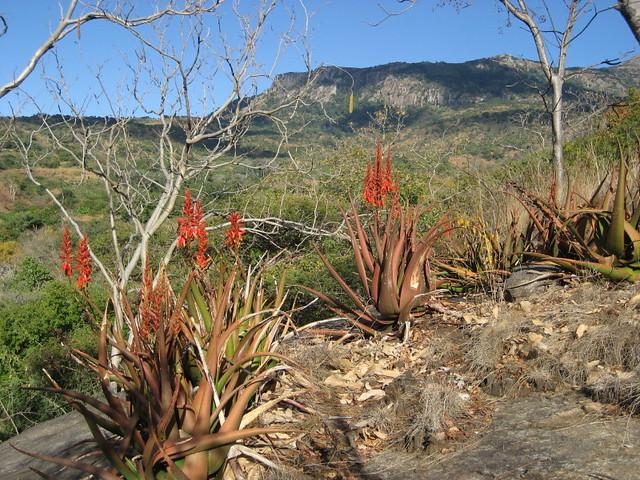 Aloe cryptopoda 2