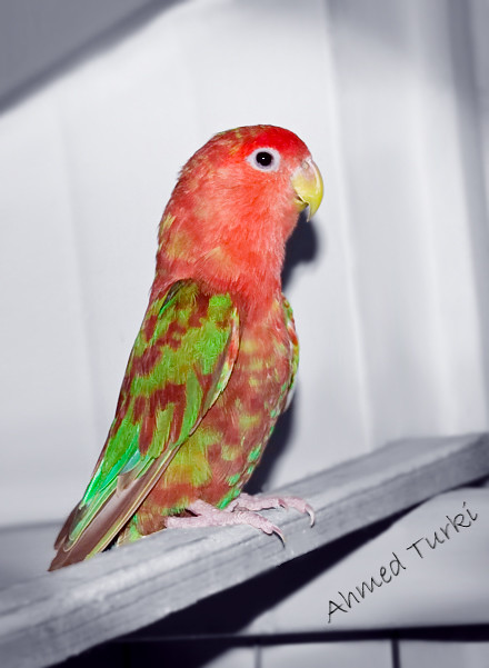 African lovebirds with name - photo#8