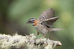Emberizidae: Zonotrichia capensis - Chingolo - Rufous-collared Sparrow