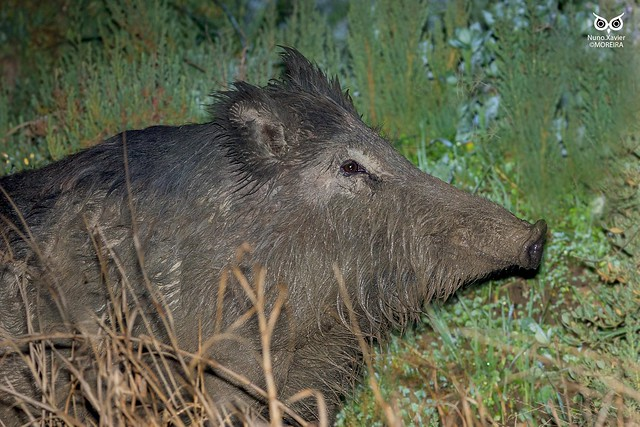 Javali, Wild boar(Sus scrofa)