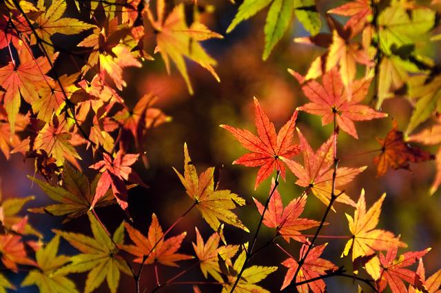 Autumn leaves | Rikugien, Tokyo
