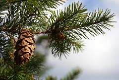 larch, conifer, flower, branch, pine, leaf, close-up, conifer cone, fir, spruce, twig,