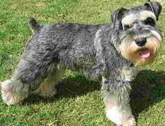 dog breed, animal, dog, schnoodle, pet, glen of imaal terrier, giant schnauzer, standard schnauzer, vulnerable native breeds, schnauzer, cesky terrier, welsh terrier, miniature schnauzer, carnivoran, terrier,