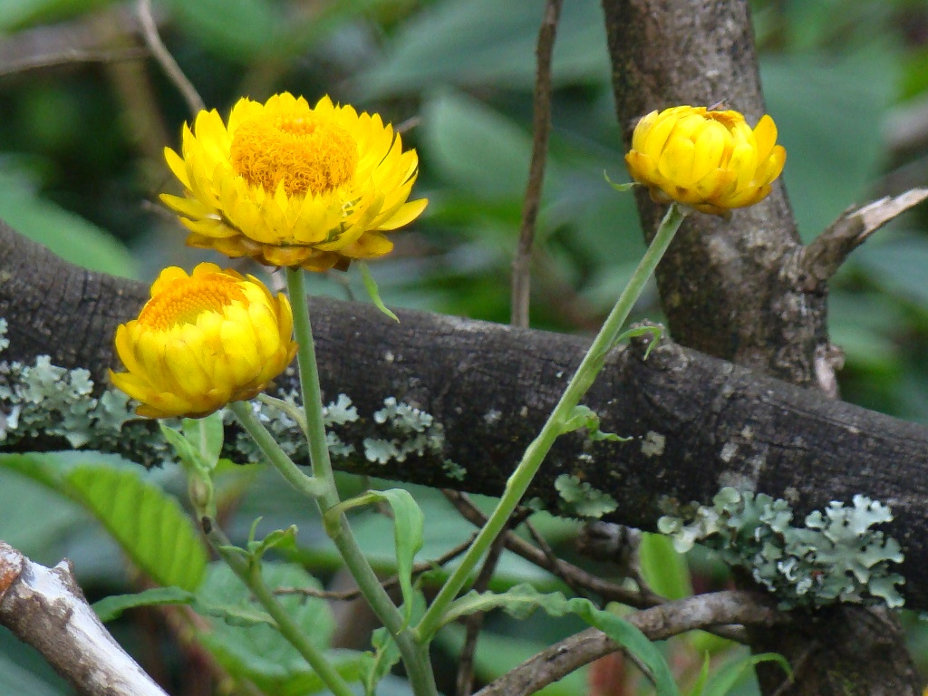 Nilgiris Wildflower Helichrysum Sp Straw Flowers Paper