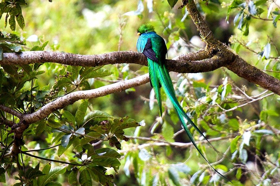 Resplendent Quetzal - Volcan Baru - Panama_H8O1573-154