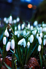 flower(1.0), galanthus nivalis(1.0), macro photography(1.0), flora(1.0), close-up(1.0),