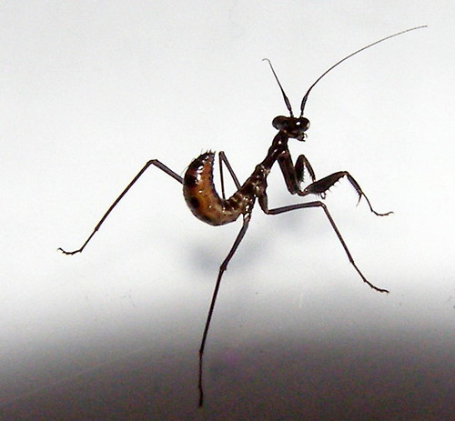 L2 Budwing Mantis - Parasphendale agrionina