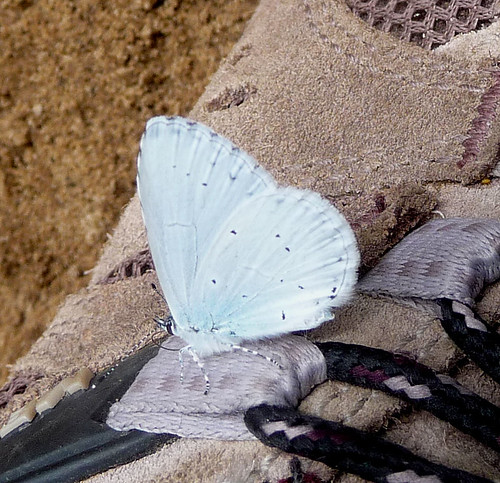 Holly Blue on my shoe. Celastrina argiolus