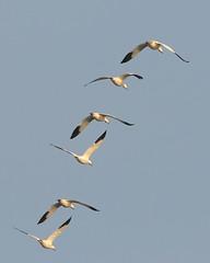 Swan in flight over pond near Colusa CA-35 11-15-09