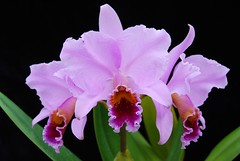 Cattleya percivaliana 'Summit' FCC/AOS