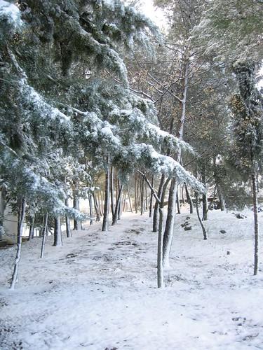 Pinos nevados 1
