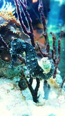 seahorse, coral reef, animal, coral, underwater, reef, aquarium,
