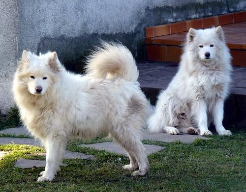 Bjelkier (Samoyed dog)