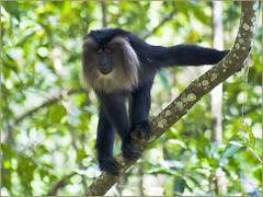 capuchin monkey(0.0), spider monkey(0.0), animal(1.0), branch(1.0), monkey(1.0), mammal(1.0), fauna(1.0), old world monkey(1.0), new world monkey(1.0), jungle(1.0), macaque(1.0), wildlife(1.0),