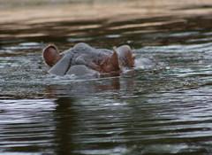 Hippopotamus diving