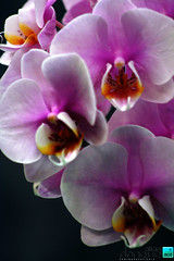 flower, purple, orchid family, macro photography, phalaenopsis equestris, flora, petal,