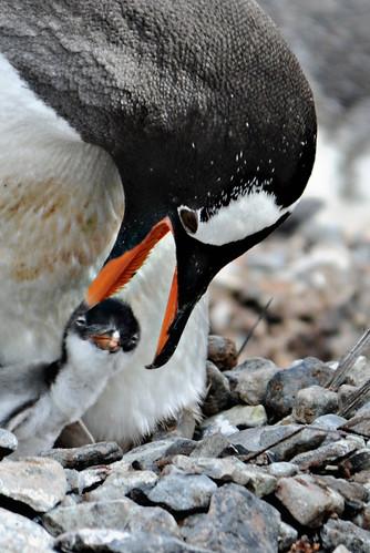 Gentoo Penguin by Jean-François Hic