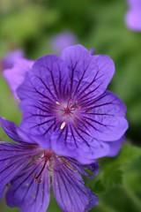 annual plant, geranium, flower, purple, plant, macro photography, wildflower, flora, close-up, petal,