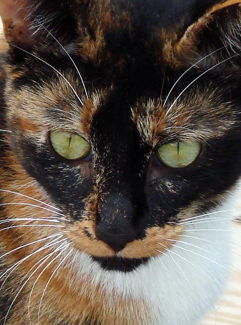 Black Calico Cat Calico Cat! Black Mask...