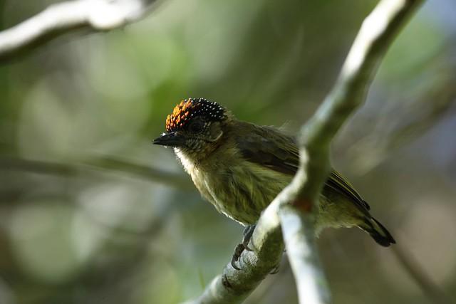 Imagen de una de las aves del Quindio: Carpintero Olivaceo (Picumnus Olivaceus)