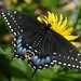Black Swallowtail - Photo (c) Dean Morley, some rights reserved (CC BY-ND)