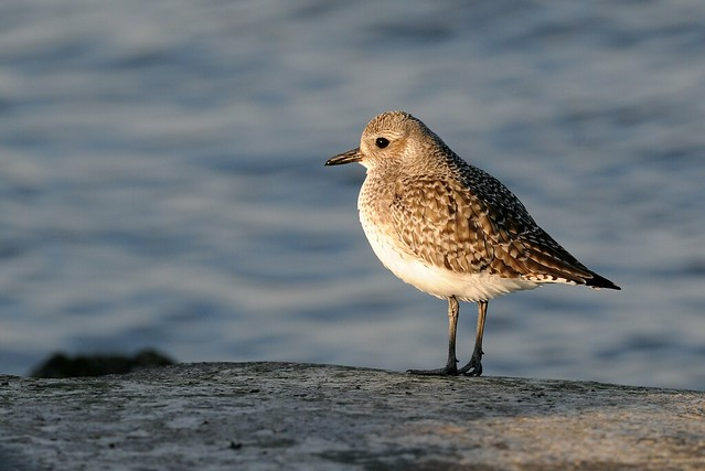 Black-Bellied Plover, Winter Plumage. Barnegat N.J.