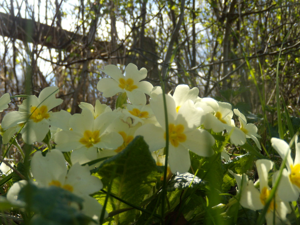 Primroses Cowden to Hever