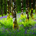 Inveraray Bluebells...