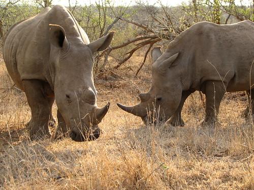 克魯格國家公園中的犀牛正面臨盜獵日益猖獗的生存危機。攝影: Roo Reynolds