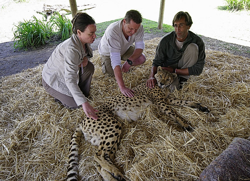 Stroking a Cheetah (Acinonyx jubatus)