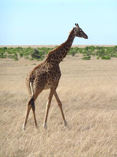 Giraffe, Maasai Mara, Kenya