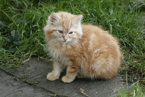 Napping Orange Fluff | The Feral Life Cat Blog  |Fluffy Orange Kittens