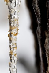 Photograph: Icicle on the tree