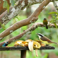 golden hooded tanager kiskadee