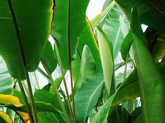 arecales(0.0), rainforest(0.0), flower(0.0), branch(0.0), leaf(1.0), tree(1.0), sunlight(1.0), plant(1.0), flora(1.0), green(1.0), banana leaf(1.0), plant stem(1.0),