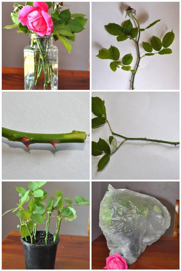 Rose cutting method