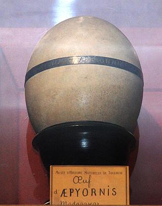 œuf d'Aepyornis