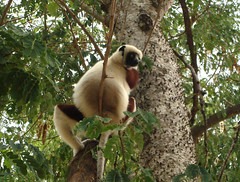 giant panda(0.0), lemur(0.0), animal(1.0), branch(1.0), monkey(1.0), mammal(1.0), fauna(1.0), new world monkey(1.0), jungle(1.0), wildlife(1.0),